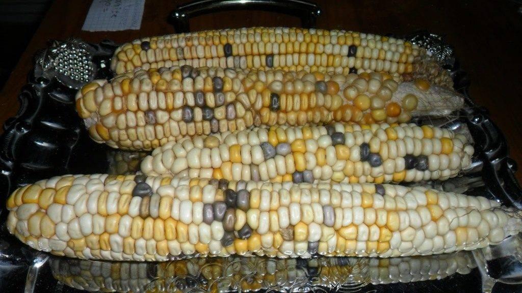 Сорт кукурузы Mays Ornamental Congo
