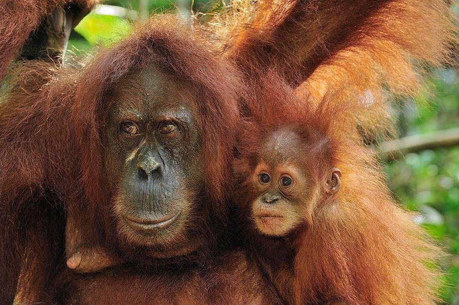 Суматранский орангутан (лат. Pongo abelii)
