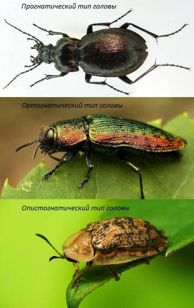 Тип головы жука