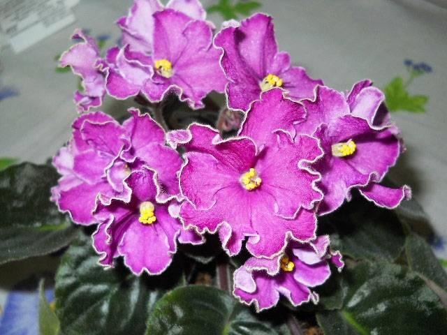 Фиалка Пурпурный Мираж