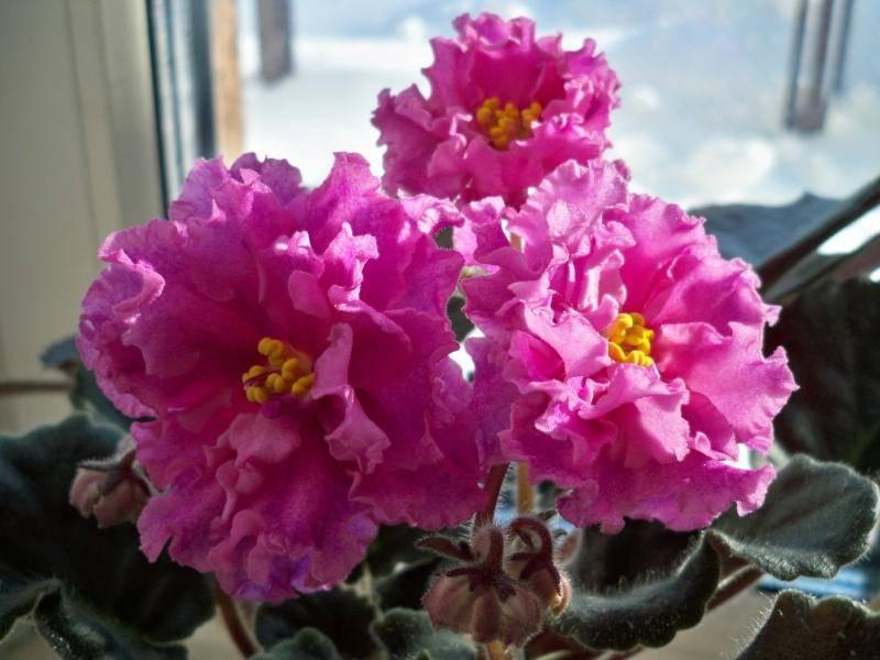 Фиалка розовая ЕК-Богиня Красоты (Коршунова)