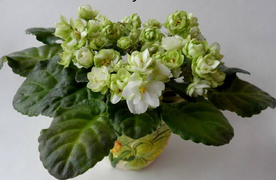 Фиалки с зелеными цветами сорт ЛЕ-Купава