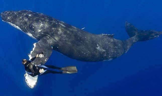 Фото большого кита с дайвером на плавнике