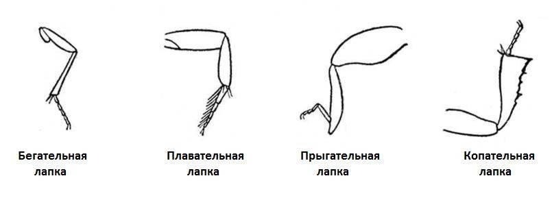 Функции лапок жуков (жесткокрылых)