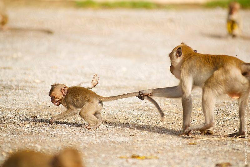 Хвост обезьяны фото