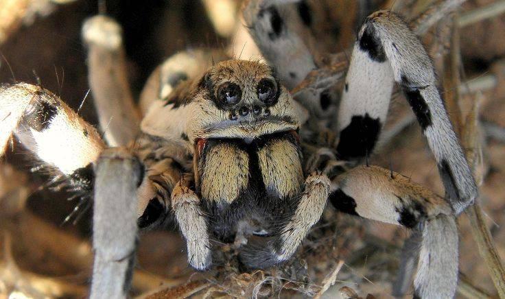 Хелицеры тарантула