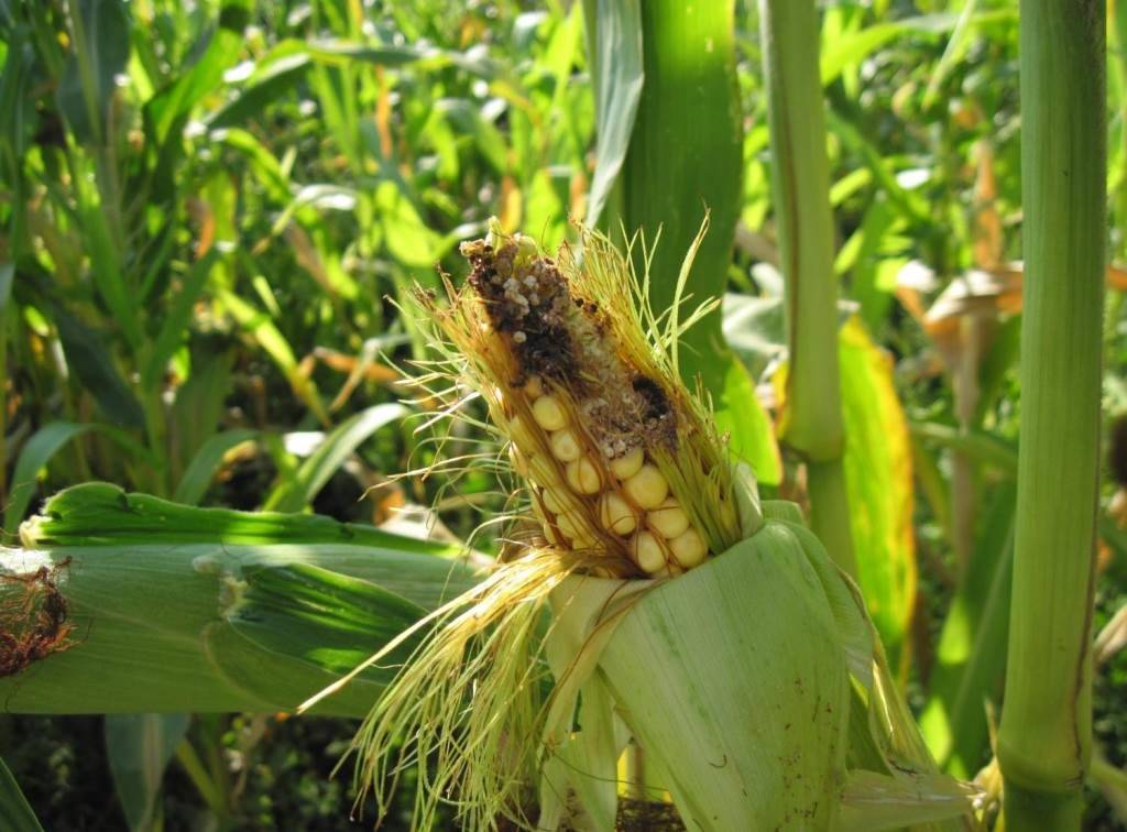Хлопковая совка на кукурузе