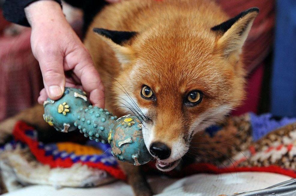 Чем кормить лису в домашних условиях