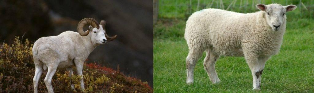 Чем отличается баран от овцы
