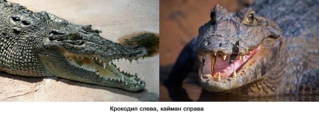 Чем отличается кайман от крокодила