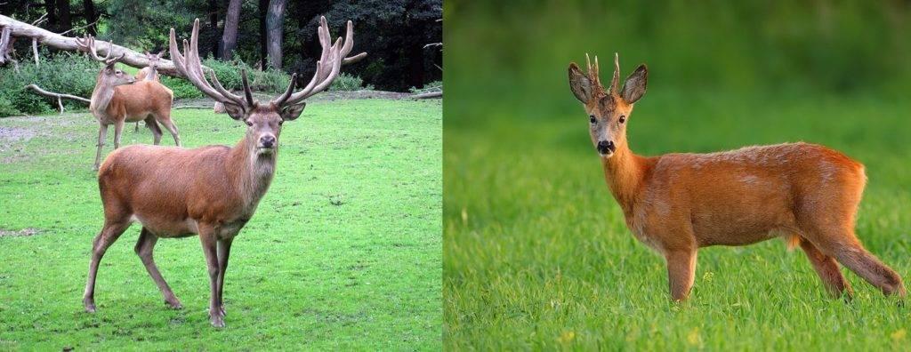Чем отличается олень от косули фото