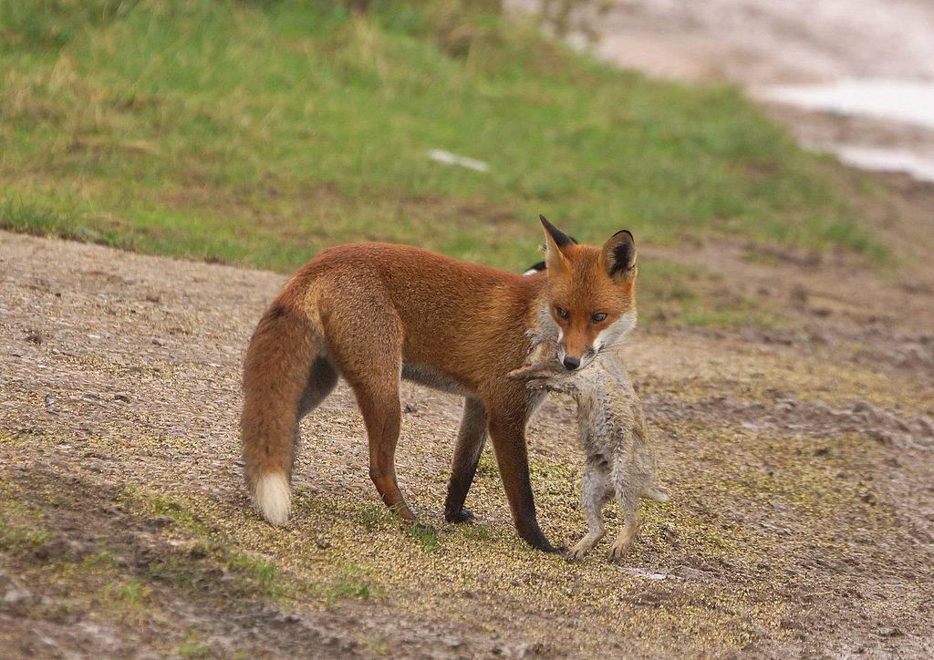 Чем питается лиса