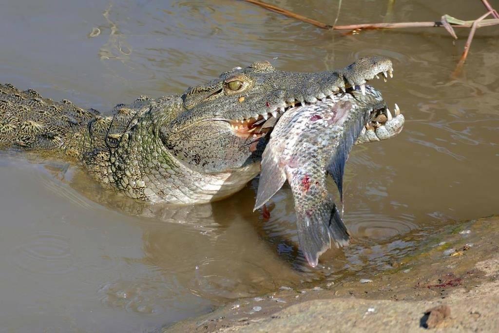 Чем питаются крокодилы в природе