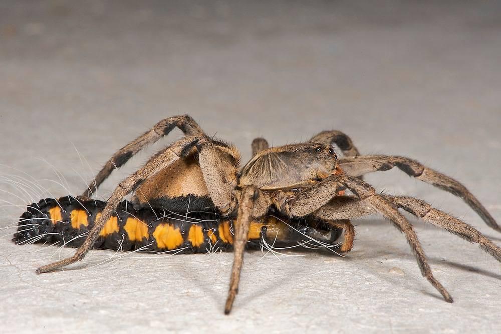 Чем питаются тарантулы