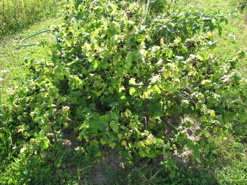 Черная смородина (лат. Ribes nigrum)