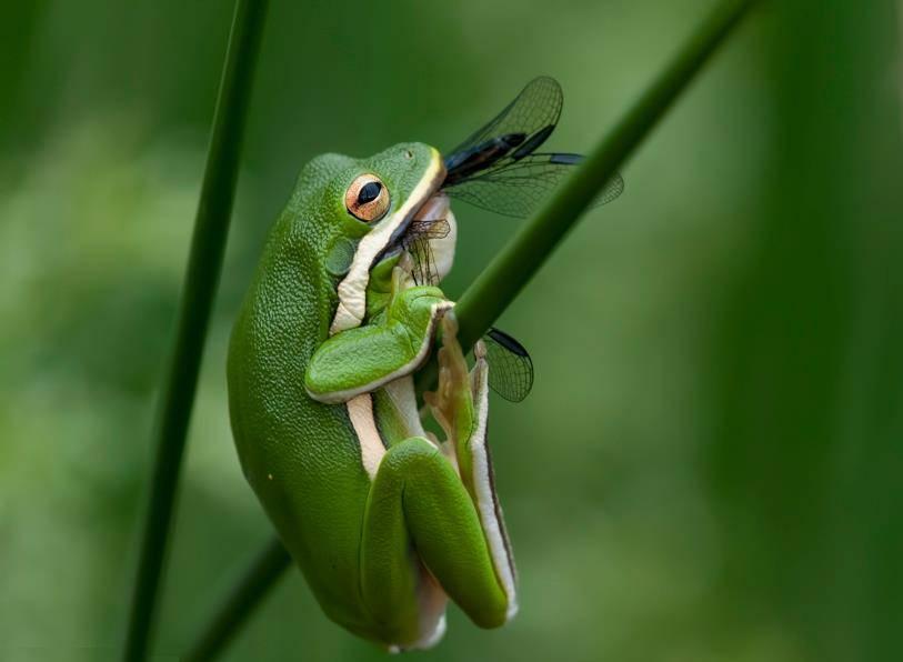 Что едят древесные лягушки квакши фото