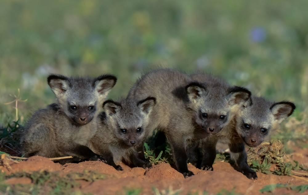 Щенки большеухой лисицы