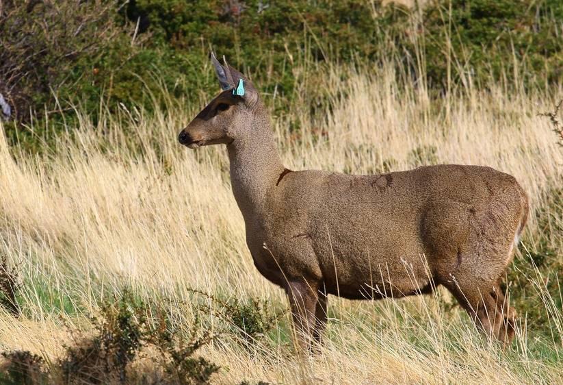Южноандский олень (лат. Hippocamelus bisulcus)