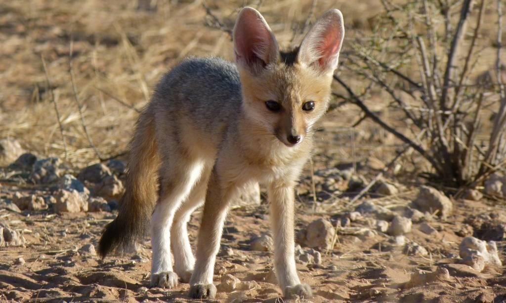 Южноафриканская лисица (лат. Vulpes chama)