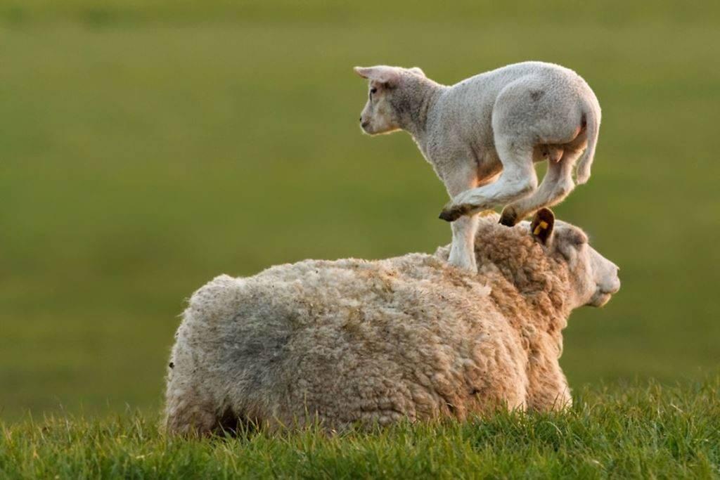 Ягненок и овца