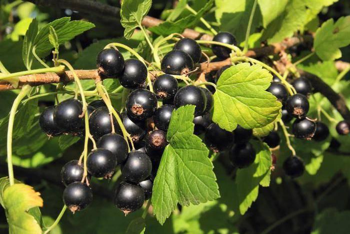 Ягоды черной смородины фото