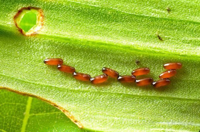 Яйца жуков фото (на примере жука лилейная трещалка Lilioceris lilii)