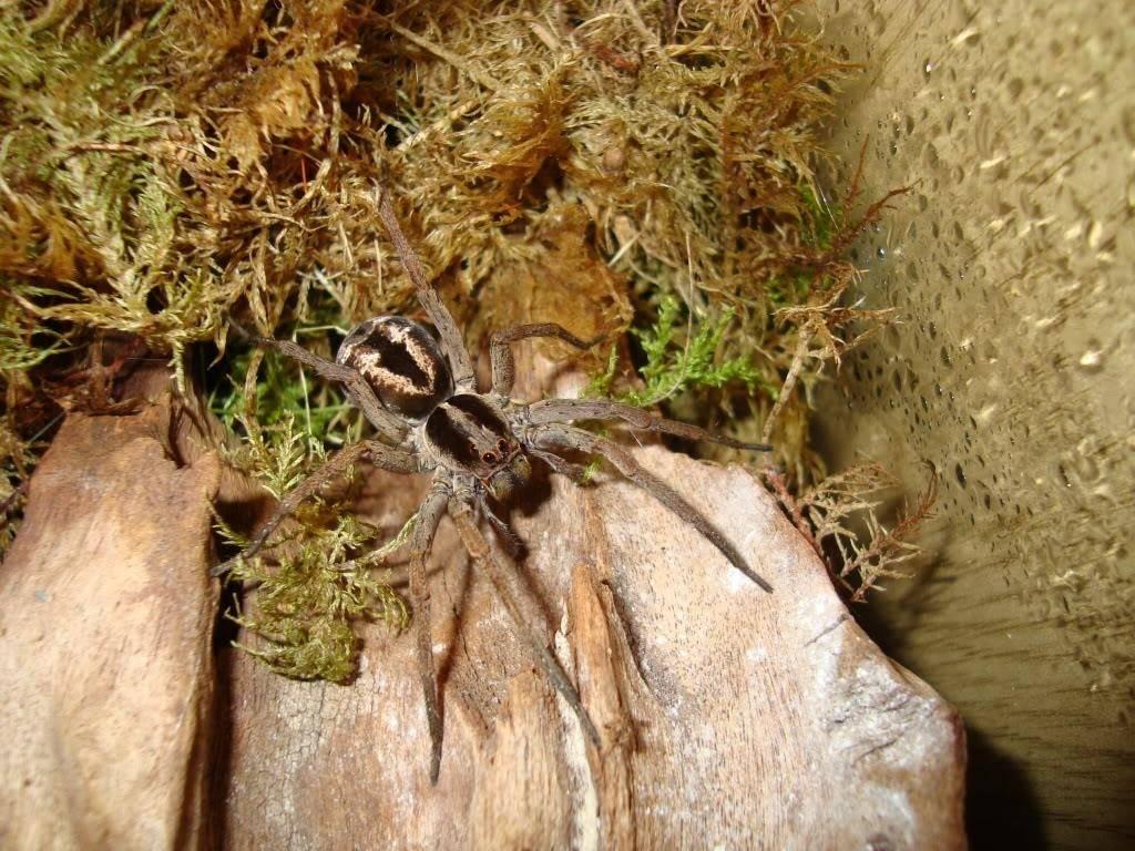 Апулийский (настоящий) тарантул фото