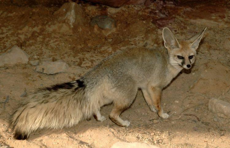 Афганская лисица (бухарская лисица) (лат. Vulpes cana)