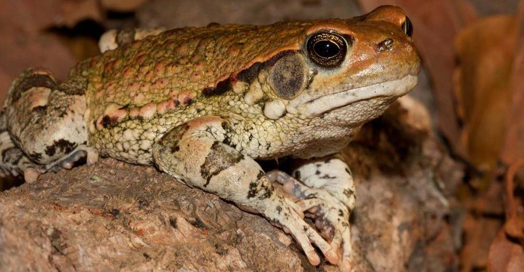 Африканская красная жаба фото