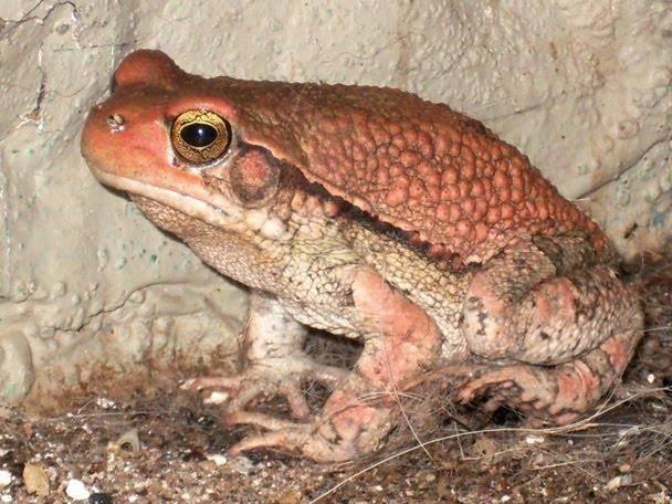 Африканская красная жаба