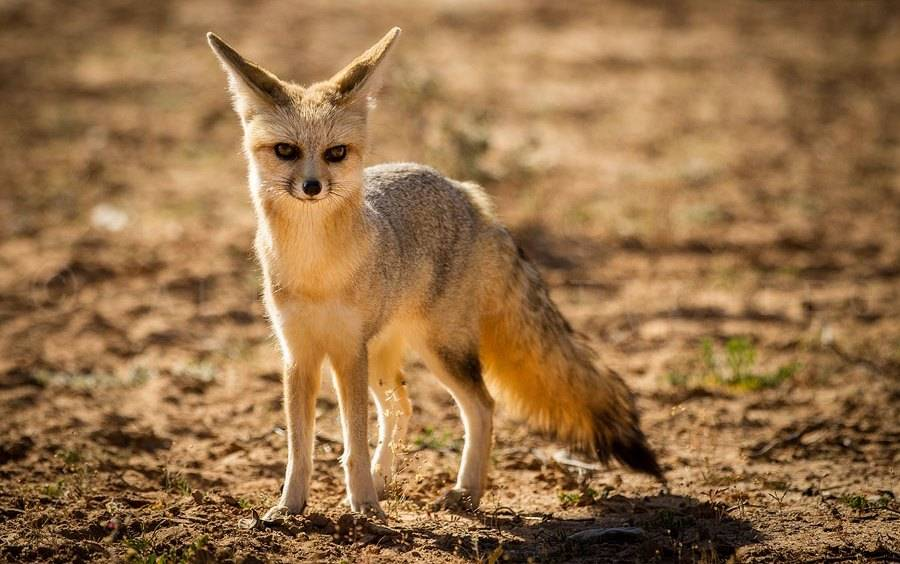 Африканская лисица (лат. Vulpes pallida)