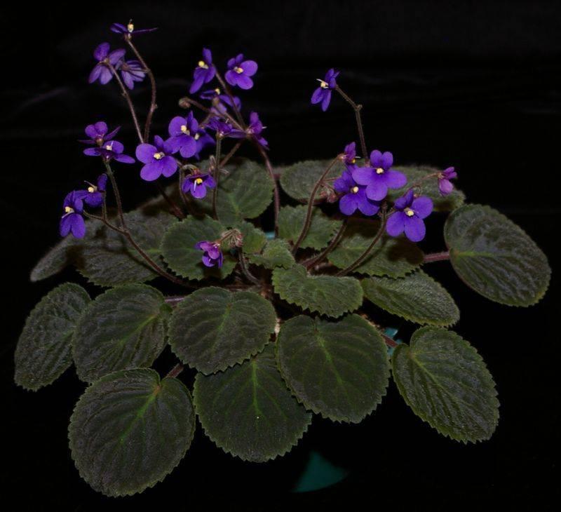 Бархатная сенполия (лат. Saintpaulia velutina)