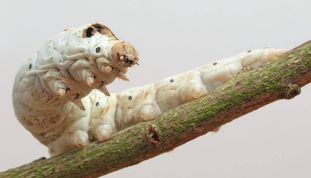 Белая гусеница тутового шелкопряда фото (лат. Bombyx mori)
