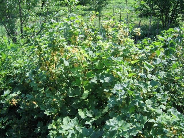 Белая смородина (лат. Ribes niveum)
