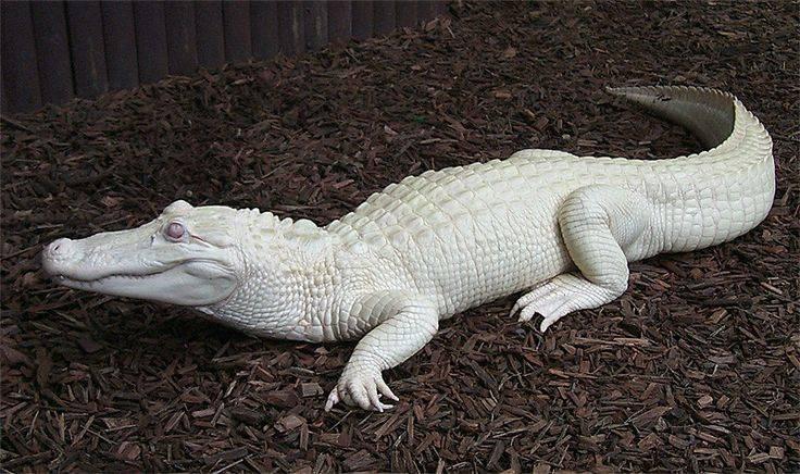 Белый крокодил (альбинос) фото