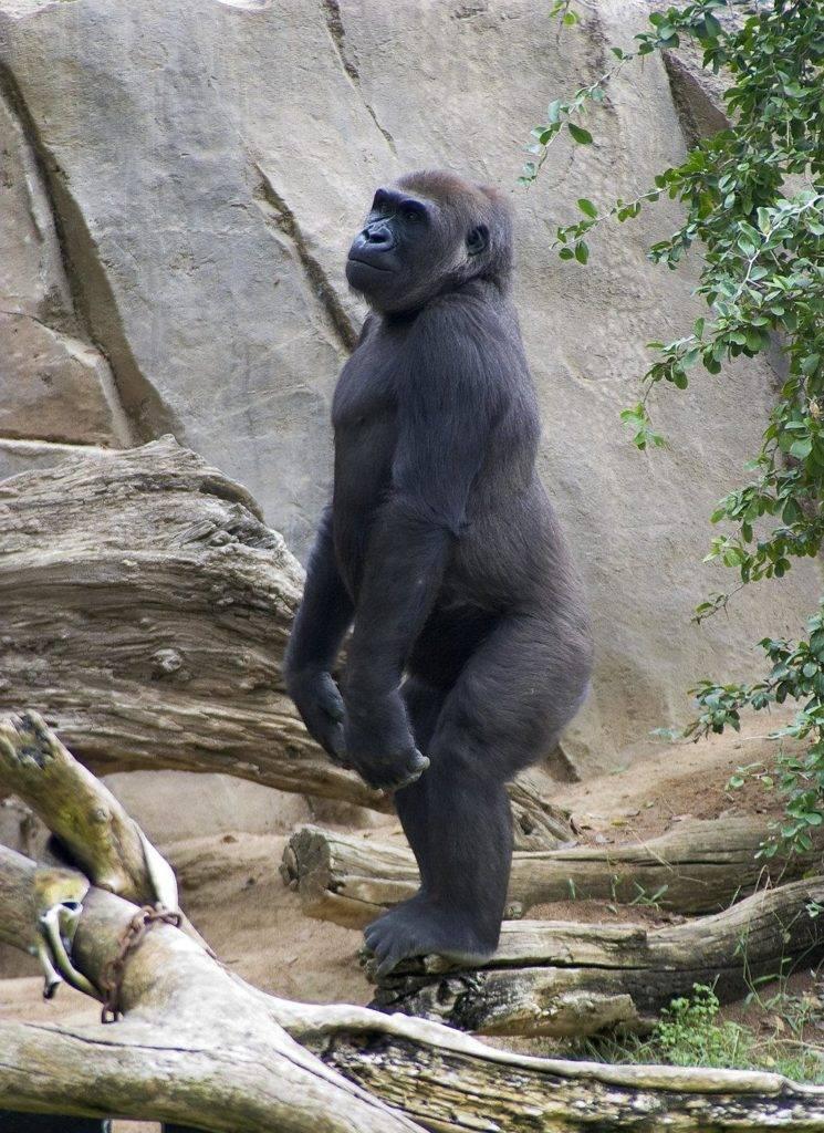 Большая обезьяна фото (горилла)