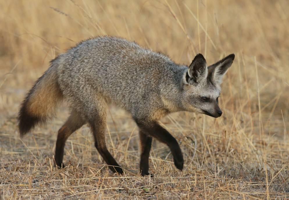 Большеухая лисица (лат. Otocyon megalotis)