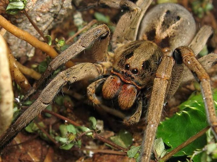 Бразильский тарантул (лат. Lycosa erythrognatha)