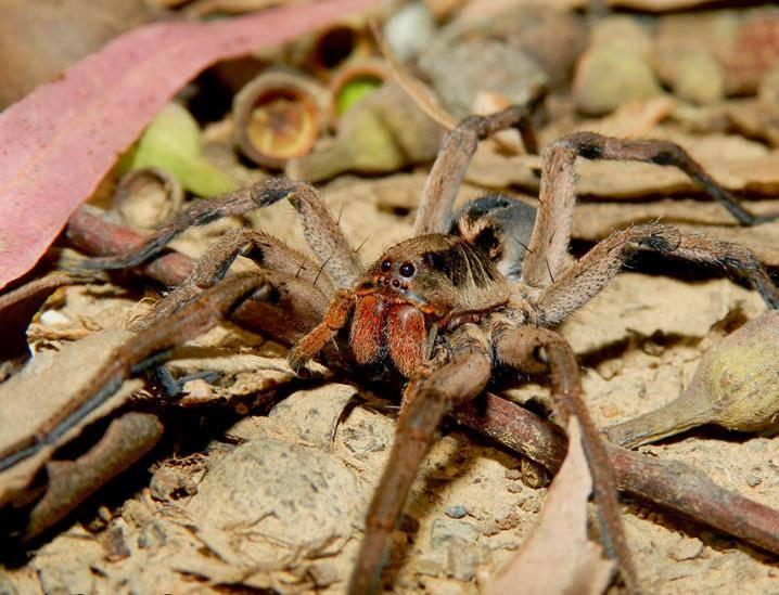 Бразильский тарантул фото