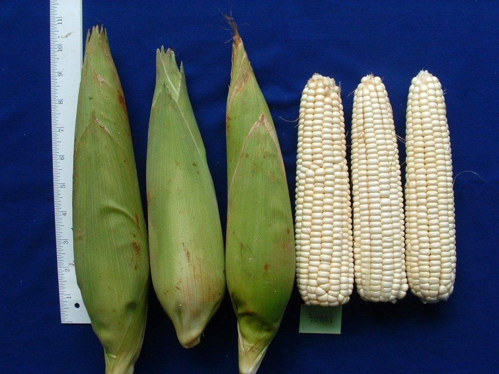 Восковидная кукуруза белого цвета (лат. Zea mays ceratina)