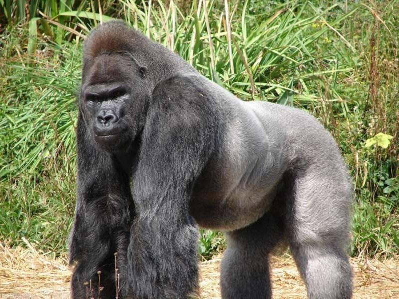 Восточная горилла фото (лат. Gorilla beringei)