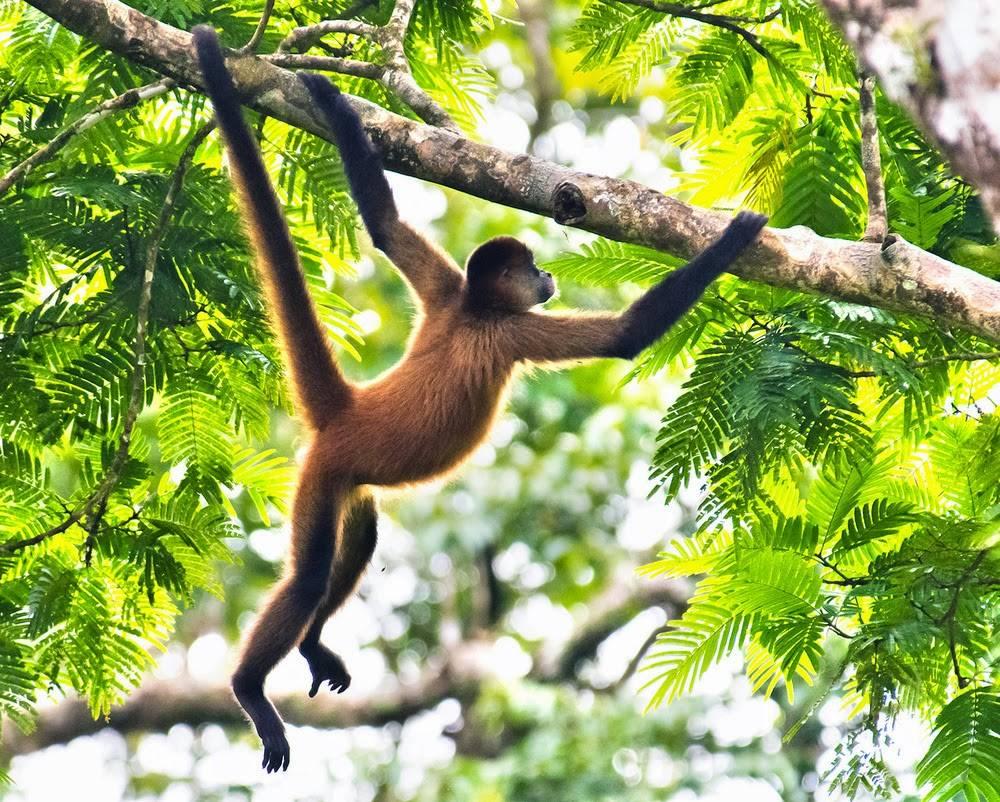 В каких странах живут обезьяны
