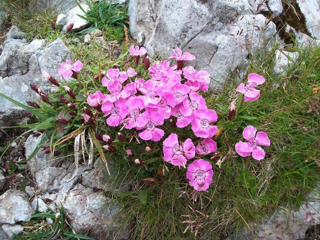Гвоздика альпийская фото (лат. Dianthus alpinus)