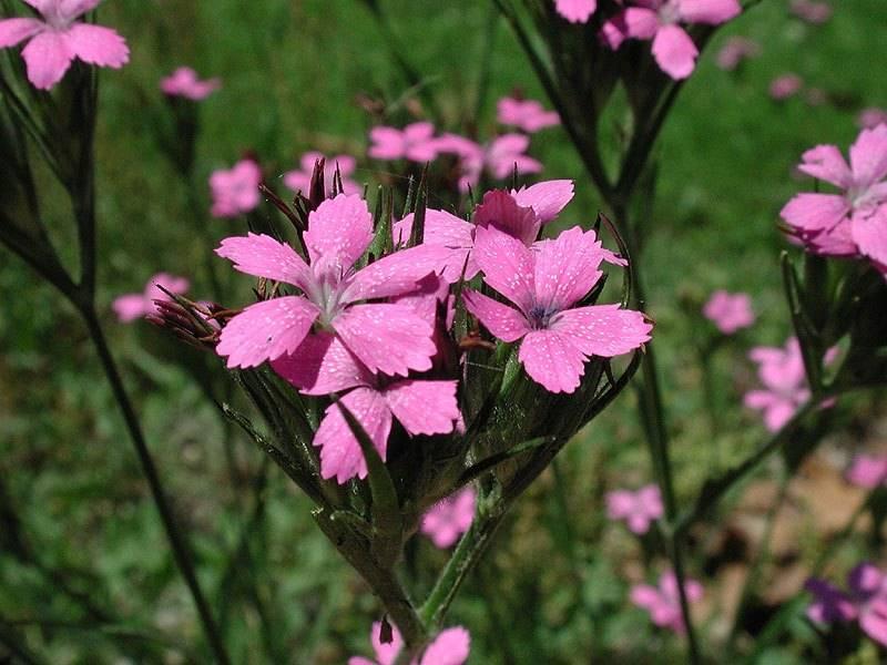 Гвоздика армериевидная фото (лат. Dianthus armeria)