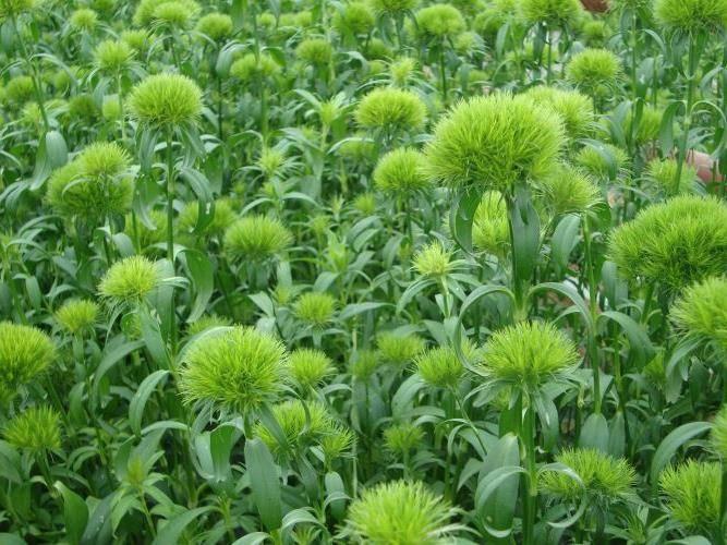 Гвоздика зеленая фото (сорт Green trick)