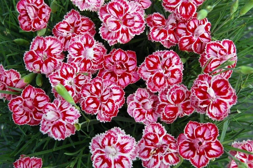 Гвоздика садовая фото (сорт Starburst)