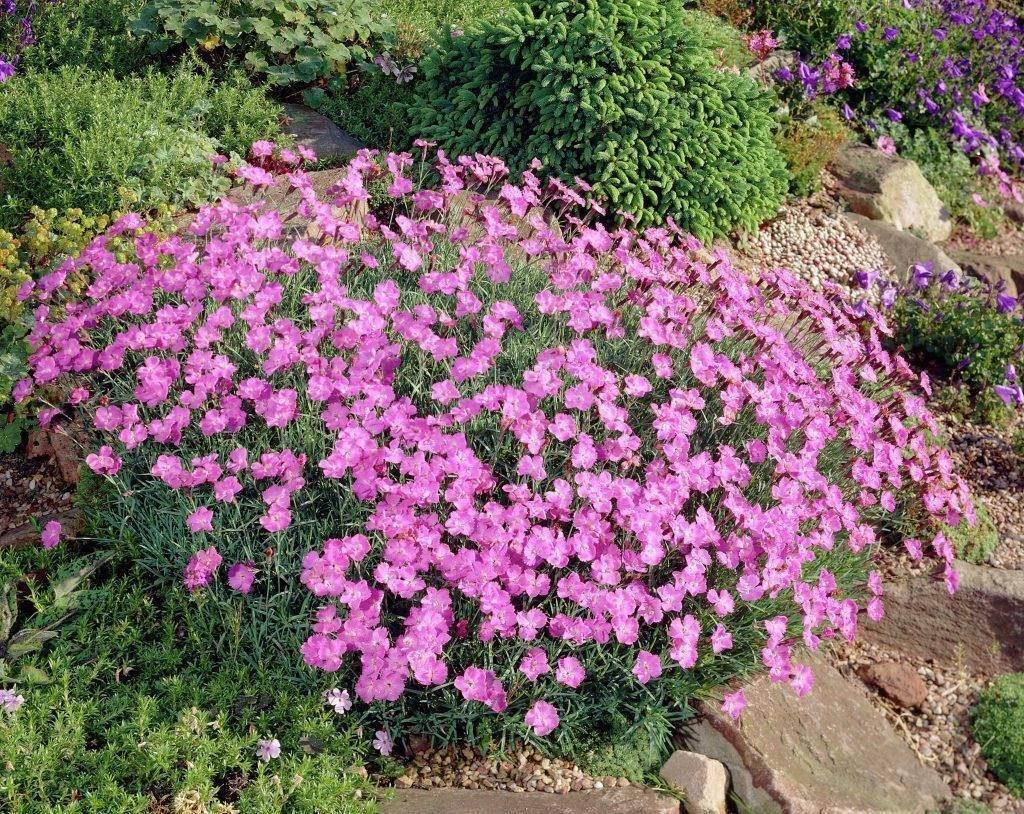 Гвоздика сизая фото (лат. Dianthus gratianopolitanus)
