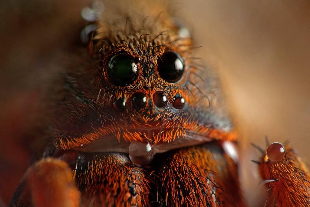 Глаза бразильского тарантула