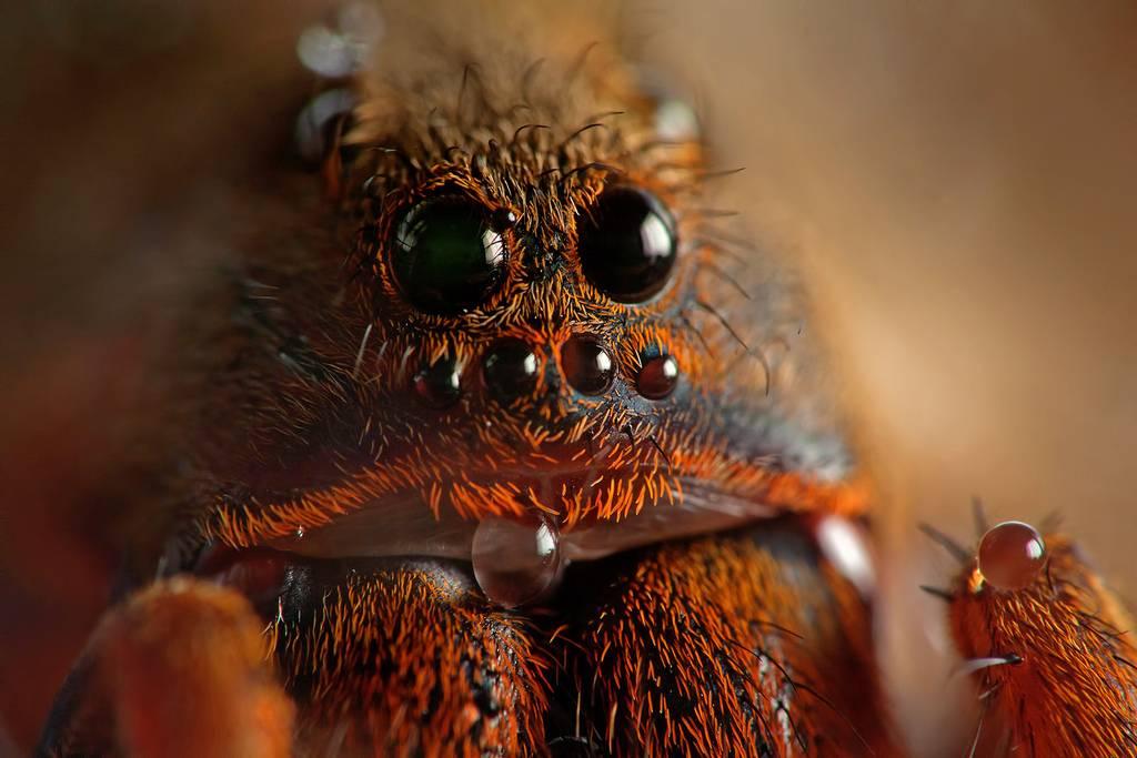 глаза тарантул фото