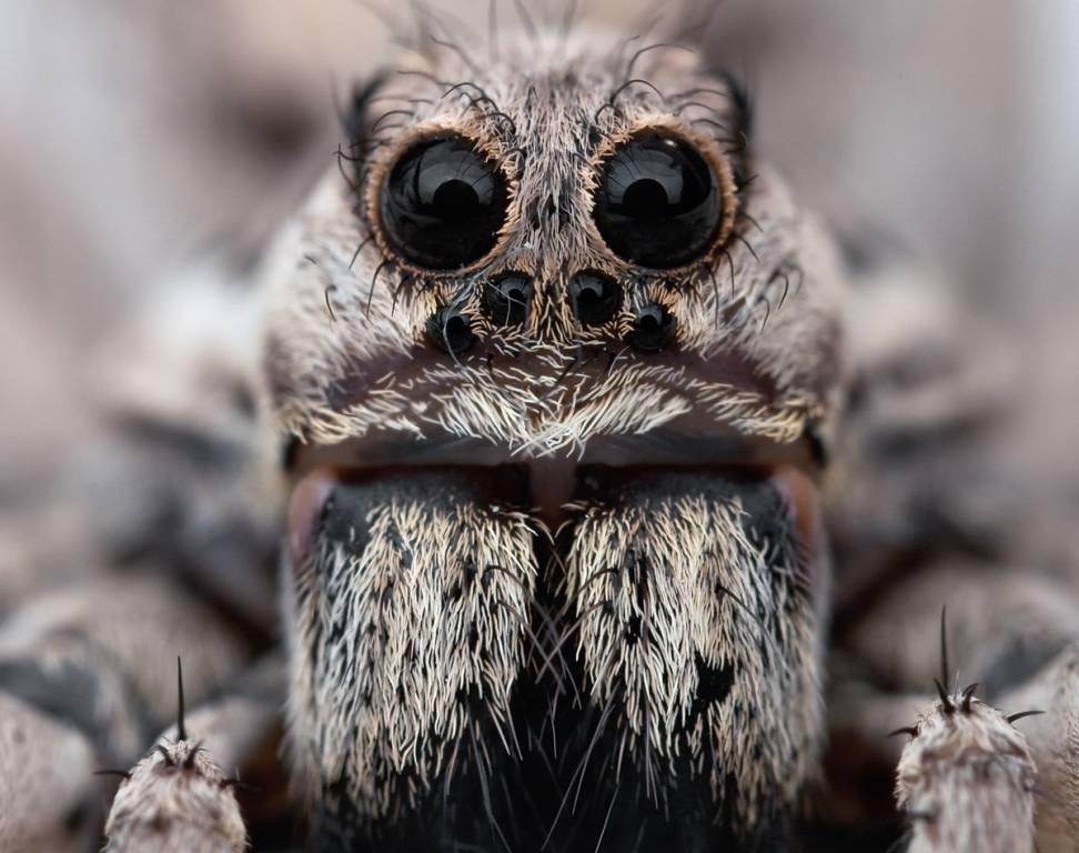 Глаза тарантула
